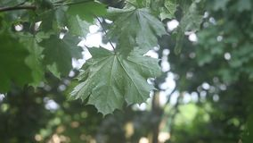 Green Maple Leaves Growing on a Branch Covered in Rain Blowing in the Wind stock video