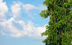 Green maple leaves, hanging branch. Blue sky Royalty Free Stock Photography