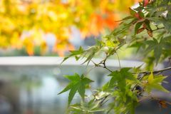 Green maple leaves at Koko-en Garden in Himeji, Japan. Green maple leaves on a blurred background of water lake and autumn foliage at Koko-en Garden in Himeji stock images