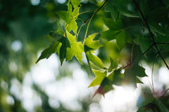 Green maple leaves leaf lush foliage bokeh. In the background Royalty Free Stock Photography