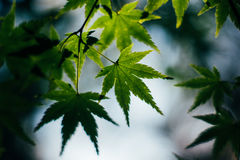 Green maple leaves leaf lush foliage bokeh. In the background Stock Photography