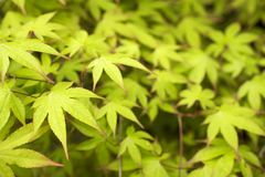 Green maple leaves. Acer palmatum var. amoenum and leaf blurs Stock Images
