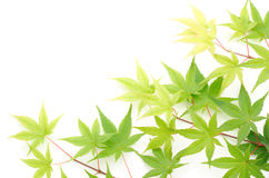 Green maple leaves lined up Stock Photo