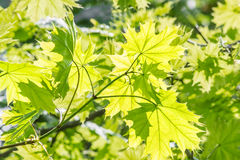 Green maple leaves macro, backlit Stock Photos