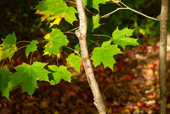 Green maple leaves Royalty Free Stock Photo