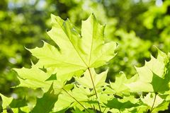 Green maple leaves in the rays of light stock image
