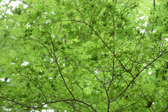 Green maple leaves. At Shinjuku Gyoen garden in Japan spring time Royalty Free Stock Images