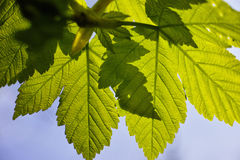 Green maple leaves spring colors Royalty Free Stock Photo