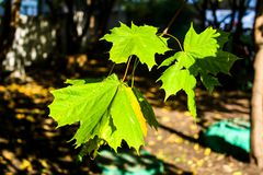 Green maple leaves in the sun royalty free stock photography