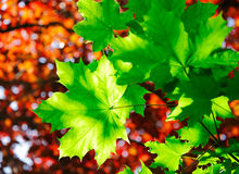Green maple leaves in sunshine Royalty Free Stock Photo
