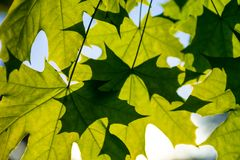 Green maple leaves in the sunshine Stock Images