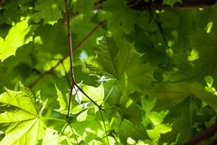 Green maple leaves in the sunshine Royalty Free Stock Images