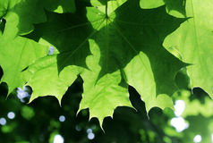 Green maple leaves on a tree branch in the sun shine. Royalty Free Stock Photo
