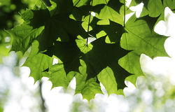 Green maple leaves on a tree branch in the sun shine. Stock Image
