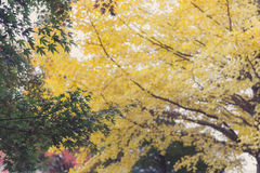 Green maple leaves yellow ginkgo background in autumn Royalty Free Stock Photography