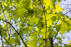 Green maple leaves. Young foliage against blue spring or summer Stock Images
