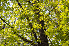 Green maple leaves. Young foliage against blue spring or summer Royalty Free Stock Photography