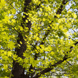 Green maple leaves. Young foliage against blue spring or summer Royalty Free Stock Images