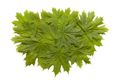 Green maple leaves royalty free stock photography