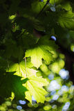 Green maple leves backlit by the sun Royalty Free Stock Image