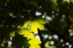 Green maple leves backlit by the sun Royalty Free Stock Photos