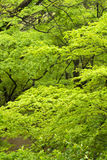 Green maple Royalty Free Stock Images