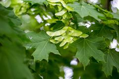 Green maple seeds on the tree.  Royalty Free Stock Images