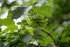 Green maple seeds on the tree.  Stock Image