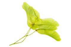 Green maple seeds on white background Stock Photos