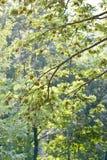 Green maple tree stock image