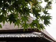 Green maple leaves against the roof of traditional Japanese house. Green maple tree against thatched roof of traditional Japanese house stock photography