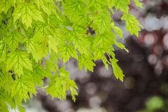 Green maple. Tree and bokeh Stock Image