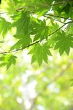 Green maple tree Royalty Free Stock Image