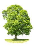 Green maple tree isolated on white background Royalty Free Stock Photo