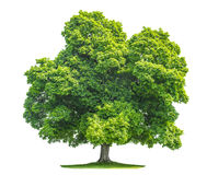 Green maple tree isolated on white background. Nature object stock photos