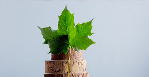 Green maple tree leaf and wooden trunk Stock Photography