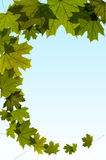 Green maple tree leaves Stock Images