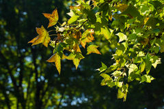green Maple tree leaves as very nice green background Royalty Free Stock Photography