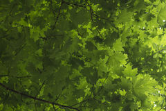 Green Maple Tree Leaves Royalty Free Stock Photography