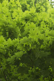 Green Maple Tree Leaves Royalty Free Stock Photo