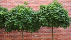 Green maple tree near a wall stock footage