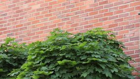 Green maple tree near a wall stock video footage