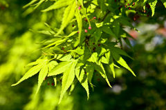 Green maple stock images