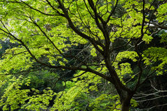 Green maple trees. Scenery of green maple trees in Nara Park, Japan, Asia royalty free stock photography