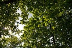 Green maple Stock Photos
