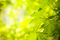 Green maples background Stock Images