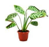 Green maranta plant in flowerpot Stock Photo
