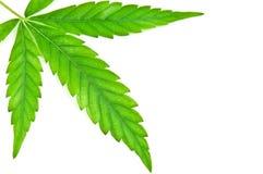 Green marijuana leaf Stock Photography
