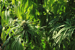 Green marijuana plant Royalty Free Stock Photography