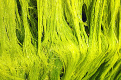 Green marine algae Royalty Free Stock Photography